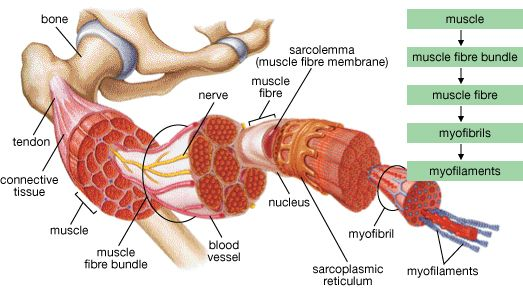 Construction of muscles and tendons that are worked during deep tissue massage near me