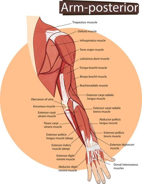 Anatomical image of arm showing trigger point therapy pathways