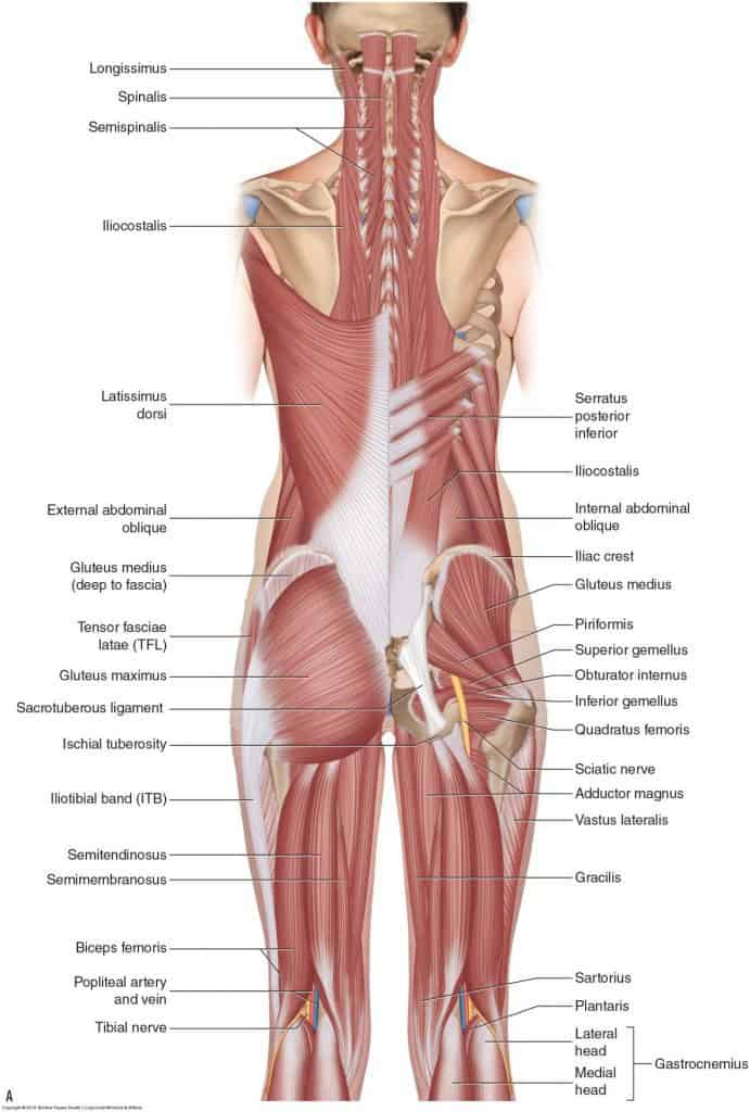 Lower back pain. Causes by looking at muscles and anatomy