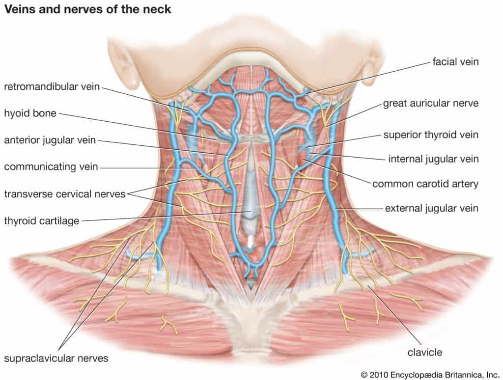 neck anatomy and why you shouldn't massage your own neck
